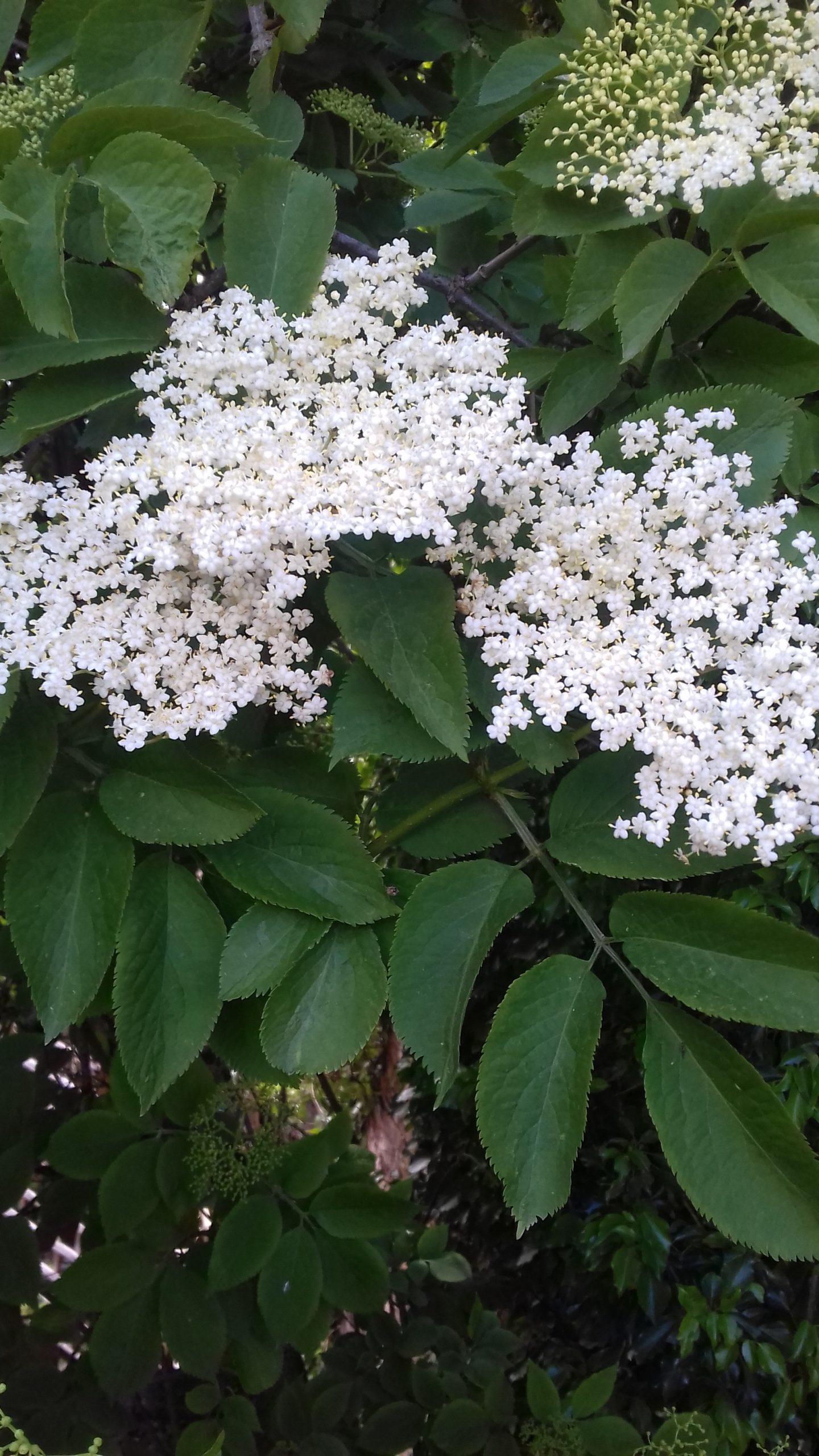 elderflower cordial recipe, how to make, summer recipes, elderflower, easy, best